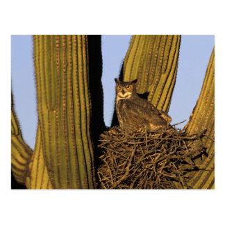 Cartão Postal NA, EUA, arizona, Tucson. Grande coruja horned