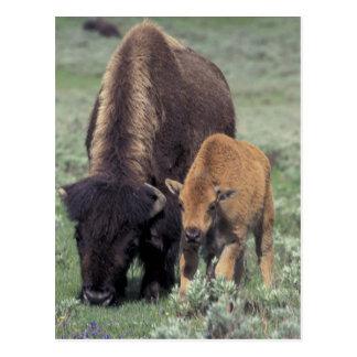 Cartão Postal NA, parque nacional dos EUA, Wyoming, Yellowstone