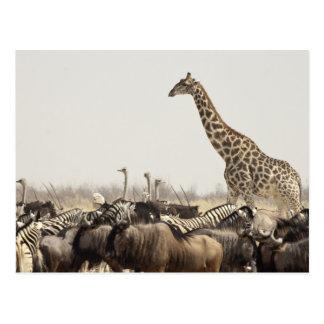 Cartão Postal Namíbia, parque nacional de Etosha. Um girafa