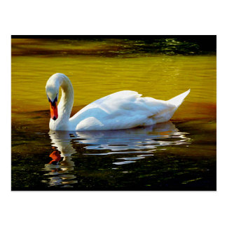 Cartão Postal Natação da cisne no lago em cores bonitas do