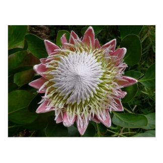 Cartão Postal Natureza grande da flor cor-de-rosa e branca