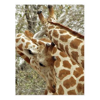 Cartão Postal Niger, Koure, dois girafas nos arbustos no oeste
