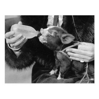 Cartão Postal Nutrindo o leitão do animal de estimação