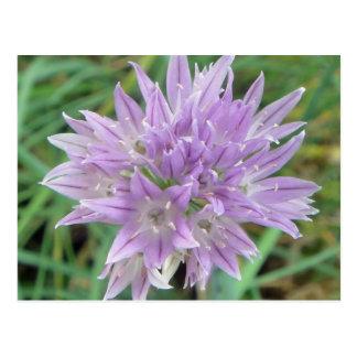Cartão Postal O cebolinho cor-de-rosa floresce o Allium