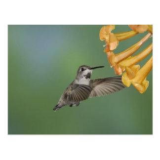 Cartão Postal O colibri da costela, costelas de Calypte, novas