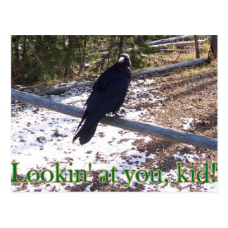Cartão Postal O corvo com fome de Yellowstone