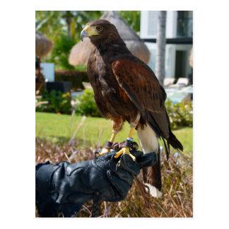 Cartão Postal O falcão de Harris na luva do falcoeiro, Cancun,