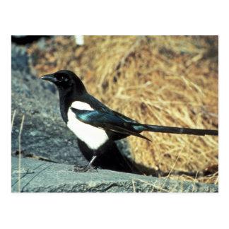 Cartão Postal o magpie Preto-faturado está na rocha