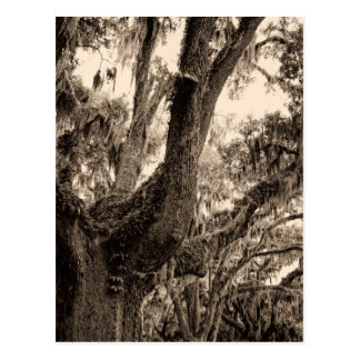 Cartão Postal O musgo espanhol decorou Live Oak em tons do Sepia