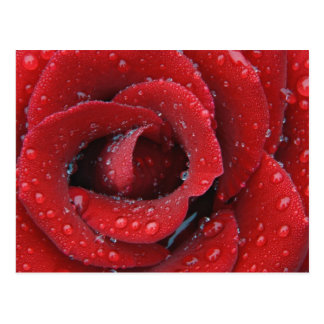 Cartão Postal O orvalho cobriu a rosa vermelha que decora o