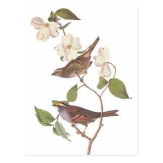Cartão Postal O pardal Throated branco de Audubon