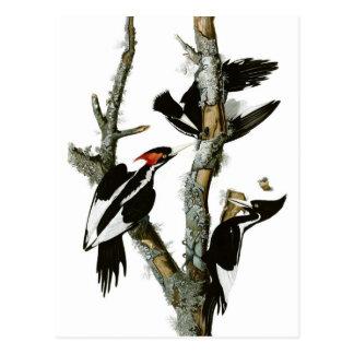 Cartão Postal O pica-pau Marfim-faturado de Audubon
