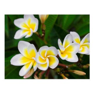 Cartão Postal O Plumeria floresce o fim-acima, Havaí