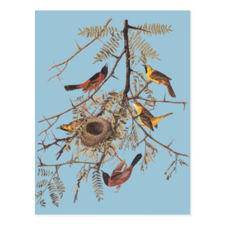 Cartão Postal O pomar Oriole de Audubon em locustídeo de mel
