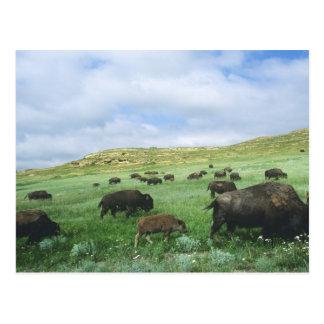 Cartão Postal O rebanho do bisonte pasta a grama de pradaria em
