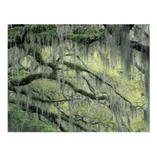 Cartão Postal O savana, Geórgia, árvore de Live Oak drapejou com