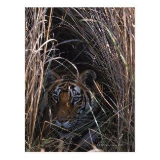 Cartão Postal O tigre reclina na grama alta