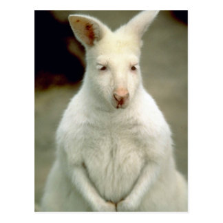 Cartão Postal O Wallaby de Bennet do albino