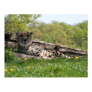 Cartão Postal Olhar do gato: Chita
