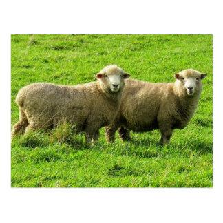 Cartão Postal olhares dos carneiros