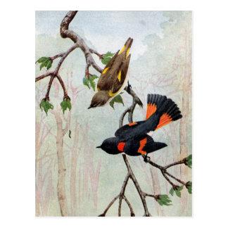Cartão Postal Olho Caterpillar de Redstarts do americano