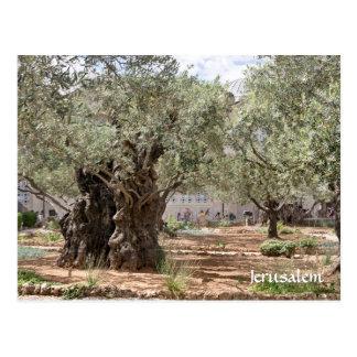 Cartão Postal Oliveiras em Gethsemane, Jerusalem, Israel