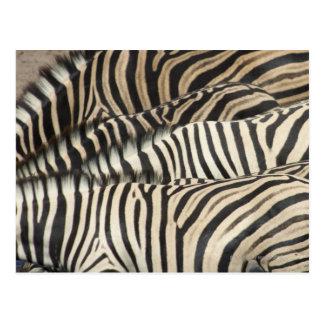 Cartão Postal Opinião aérea a zebra de Burchell (Equus