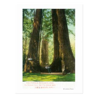 Cartão Postal Opinião gêmeos da sequóia vermelha no bosque