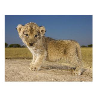 Cartão Postal Opinião o filhote de leão novo (Panthera leo),