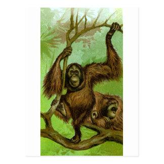 Cartão Postal Orangotango
