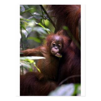 Cartão Postal Orangotango bonito Sumatra do bebê