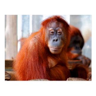 Cartão Postal Orangotango de Sumatran, amigável e inteligente