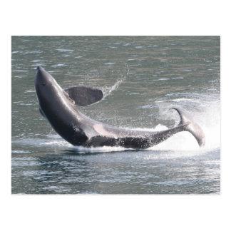 Cartão Postal Orca que rompe em Alaska