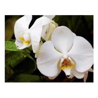 Cartão Postal Orquídea branca da lua (Afrodite do Phalaenopsis)