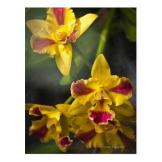 Cartão Postal Orquídea da beleza de Potinara Burana