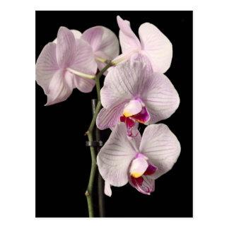 Cartão Postal Orquídea do Phalaenopsis