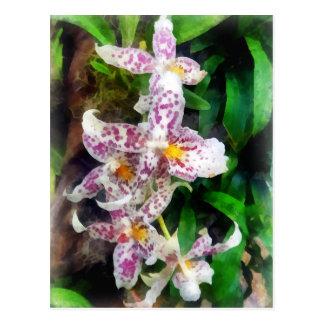 Cartão Postal Orquídea elegante de Beallara