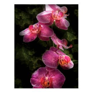 Cartão Postal Orquídea - Phalaenopsis - o conjunto