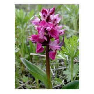 Cartão Postal Orquídea roxa do pântano, ilha de Unalaska
