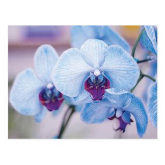 Cartão Postal Orquídeas azuis