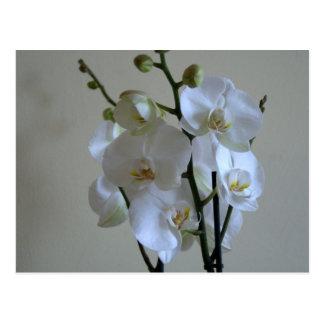 Cartão Postal Orquídeas brancas