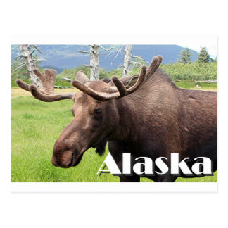 Cartão Postal Os alces aproximam Anchorage, Alaska, EUA (o