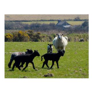 Cartão Postal Os cordeiros Bodmin dos carneiros amarram