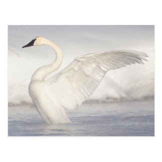 Cartão Postal Os EUA, Wyoming, cisne de trompetista esticam as