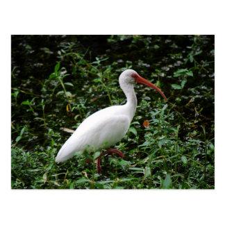 Cartão Postal Os íbis brancos…