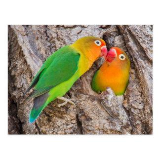 Cartão Postal Os Lovebirds que beijam, África de Fischer