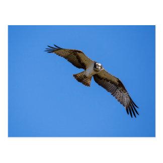 Cartão Postal Osprey do vôo com um alvo na vista