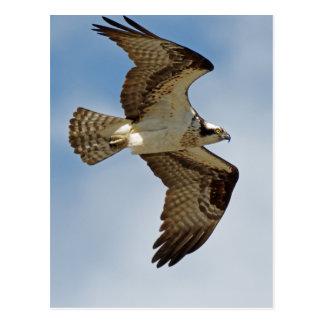 Cartão Postal Osprey em vôo