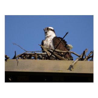 Cartão Postal Osprey no ninho