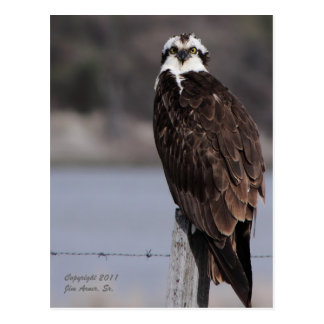 Cartão Postal Osprey perto de Wyoming alpino